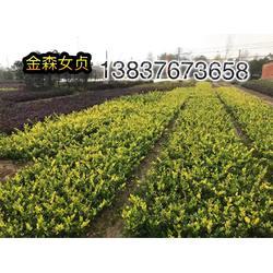河南卜集3公分紫薇  3公分刚竹  2公分栾树农户直销图片