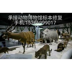 动物博物馆标本修补图片