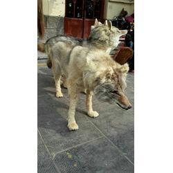 仿真狼标本西伯利亚浪标本美国郊狼标本图片