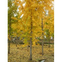 银杏树,千顺银杏,10公分银杏树的图片