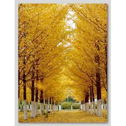 银杏树,千顺银杏,银杏树产地图片