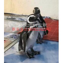 海狮海豹表演出租企鹅展览水族展鱼缸展水母展海洋馆设备出租图片