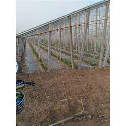 葡萄苗木采购、北方大地葡萄(在线咨询)、自贡葡萄苗木图片