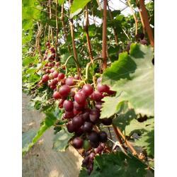 贵妃玫瑰葡萄苗销售-北方大地葡萄(在线咨询)葫芦岛葡萄苗图片