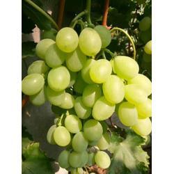 大棚葡萄苗报价,兰州葡萄苗,北方大地葡萄(查看)图片