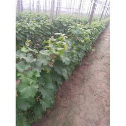 红寺堡开发区葡萄苗,北方大地葡萄,优质巨峰葡萄苗图片