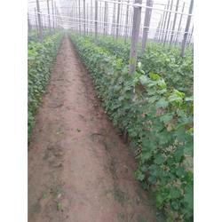贵妃玫瑰葡萄苗销售,定西葡萄苗,北方大地葡萄(查看)图片