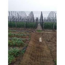 北方大地葡萄 玫瑰香葡萄苗-天水葡萄苗图片