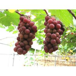 葡萄、江苏葡萄销售、江苏康泉农业(优质商家)图片