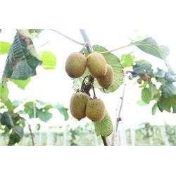 猕猴桃,江苏康泉农业,扬州猕猴桃哪家好图片