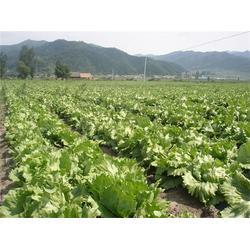 蔬菜配送公司|山农农副产品配送(在线咨询)|蔬菜配送图片