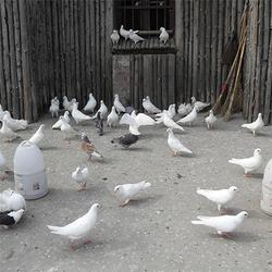 鸽子养殖技术 湖北鸽子养殖厂 鸽子养殖图片