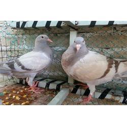鸽子蛋_枣阳鸽子养殖厂(在线咨询)_鱼梁州鸽子蛋图片