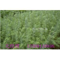 长恩苗圃 常绿乔木雪松图片