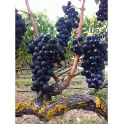 喝葡萄酒好还是红酒好-加诺葡萄酒(在线咨询)三明葡萄酒图片
