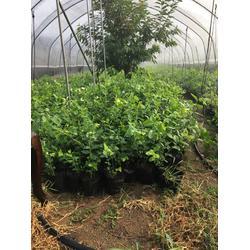 优质蓝莓苗、牡丹江蓝莓苗、信诺为民优惠图片