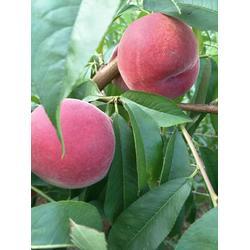 桃树苗,信诺为民,黄桃桃树苗图片