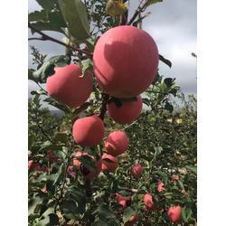 蚌埠苹果苗、信诺为民服务贴心、红富士苹果苗的图片