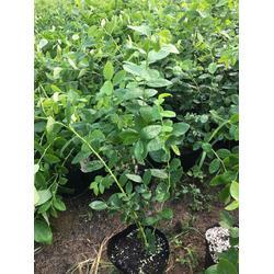 蓝莓苗_信诺为民(在线咨询)_蓝莓苗多少钱一颗图片