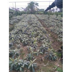 供应枇杷苗|泰州枇杷苗|繁茂苗木(查看)图片