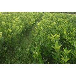 金桔橘苗-繁茂苗木(在线咨询)江苏橘苗图片