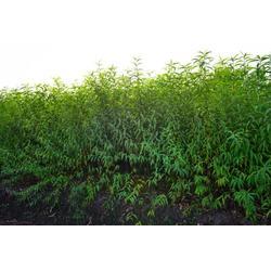 水蜜桃树苗厂家-东山繁茂苗木-北京桃树苗图片
