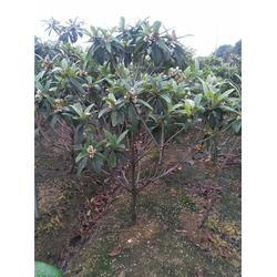 枇杷苗|吳中區繁茂苗木|東山白玉枇杷苗圖片