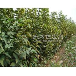 阳丰甜柿子苗、甜柿子苗、东方供应商图片