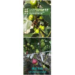 无花果苗盆栽-湖州无花果苗-〈惠星农场〉品种好图片