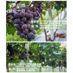 金华葡萄苗|金华葡萄苗|【惠星农场】品种好,纯度高图片