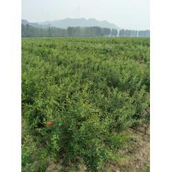 软籽石榴树苗基地|富农石榴(在线咨询)|软籽石榴树苗图片