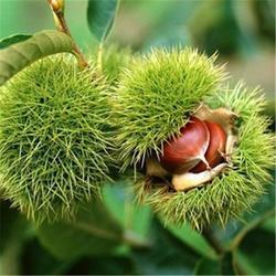 澳洲坚果苗木种植,【宝鸭塘】,澳洲坚果苗木图片