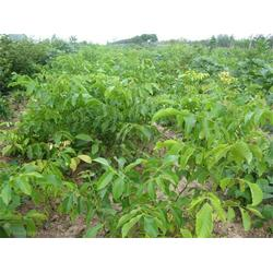 坚果苗木怎么种植、坚果苗木、【宝鸭塘】图片