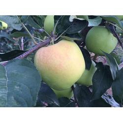 洛川苹果|洛川苹果采购|康霖现代农业(优质商家)图片