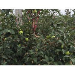 山姆苹果_山姆苹果礼盒_康霖现代农业(优质商家)图片