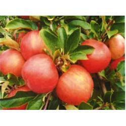 哪里有卖红乔王子苹果,康霖现代农业(在线咨询),苹果图片