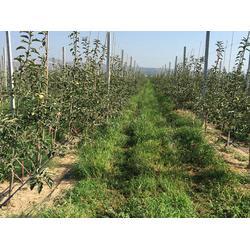 洛川苹果商|康霖现代农业苹果|苹果图片