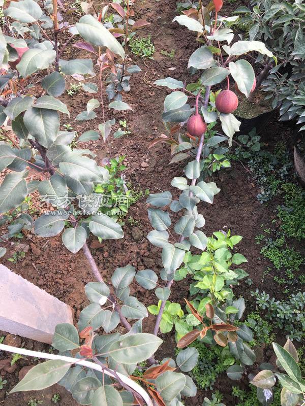 乾纳瑞农业科技好图片-梨苗-圆电器苗基地黄梨品质正泰正品图片