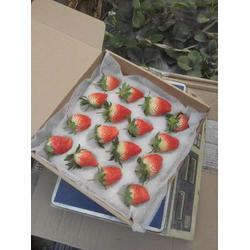 德州草莓苗,乾纳瑞农业,桃熏白草莓苗种植图片