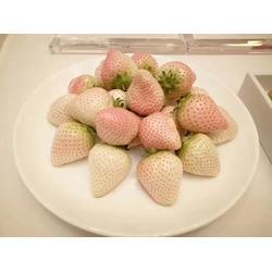 乾纳瑞农业、滨州草莓苗、草莓苗育苗