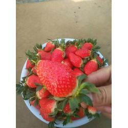 济南草莓苗_乾纳瑞农业_全明星草莓苗哪里有图片