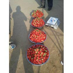 怎么种草莓苗、淮北草莓苗、乾纳瑞农业(查看)图片