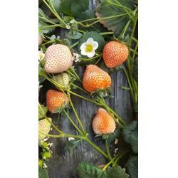 济宁草莓苗、乾纳瑞农业(在线咨询)、草莓苗育苗图片
