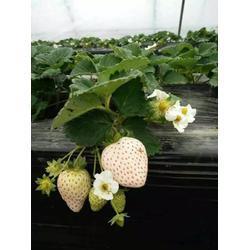 咖啡草莓苗种植,鹤壁草莓苗,乾纳瑞农业图片