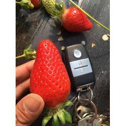 草莓苗哪里有出售_陕西草莓苗_乾纳瑞农业图片