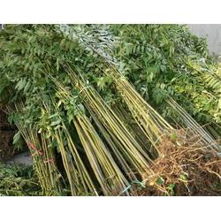 香椿苗,乾纳瑞农业科技qy8千亿国际官网售,一年生香椿苗图片