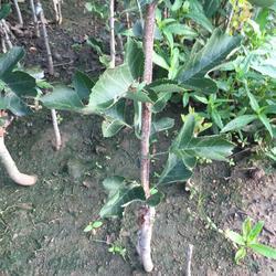 乾纳瑞农业科技欢迎您,山楂苗,大金星山楂苗图片