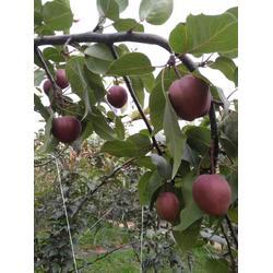 乾纳瑞农业科技公司售(图),黄金梨树苗,梨树苗图片