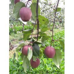 梨树苗、梨树苗、乾纳瑞农业科技服务好图片