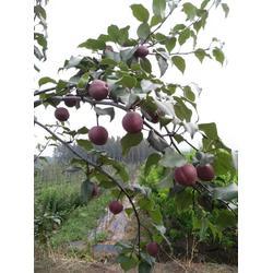 乾纳瑞农业科技欢迎您,梨树苗,梨树苗新品种图片